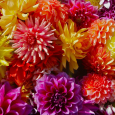 Colorful-dahlia