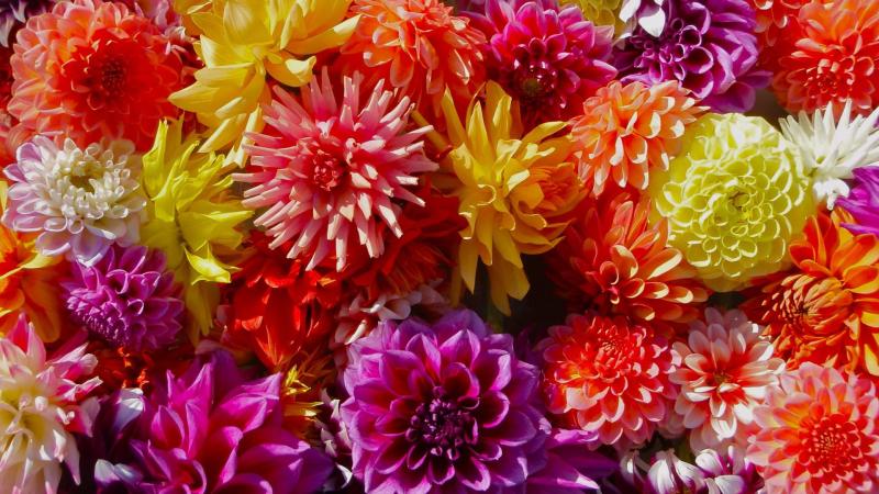 Colorful-dahlia
