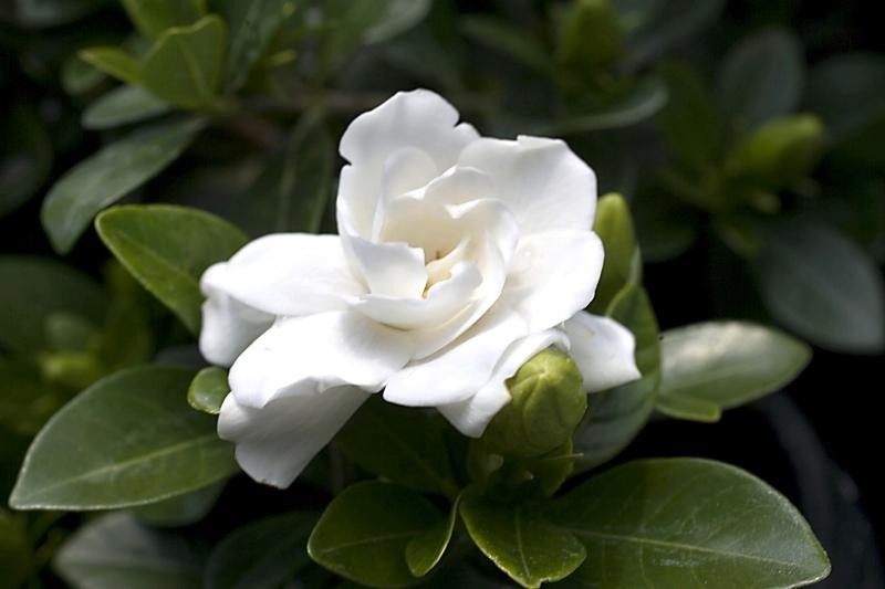 Gardenia-Crown-Jewel-001