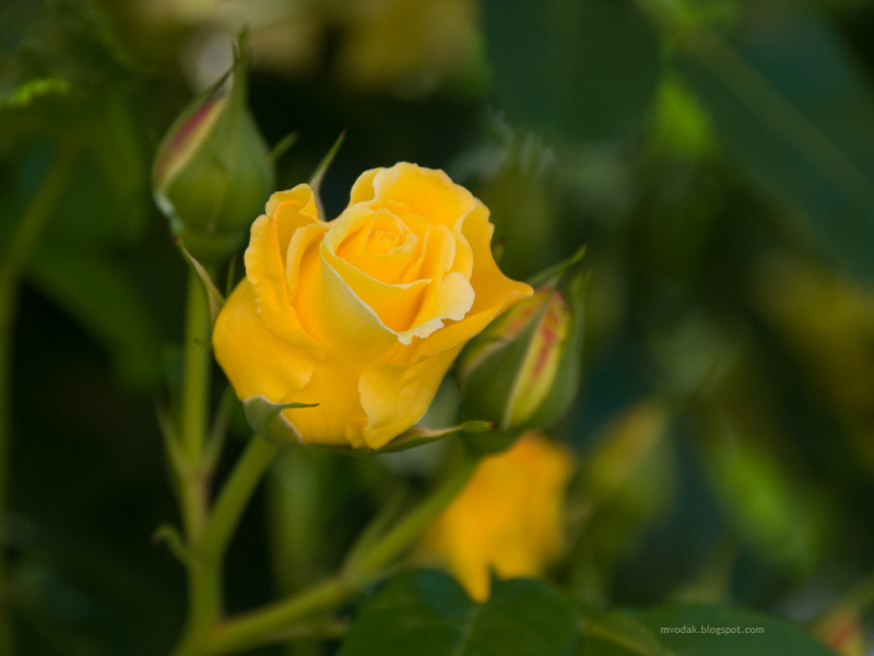 A_Yellow_Rose_2_27345