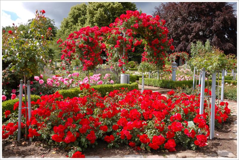 Red-rose-garden-ideas
