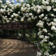 White-Roses3009