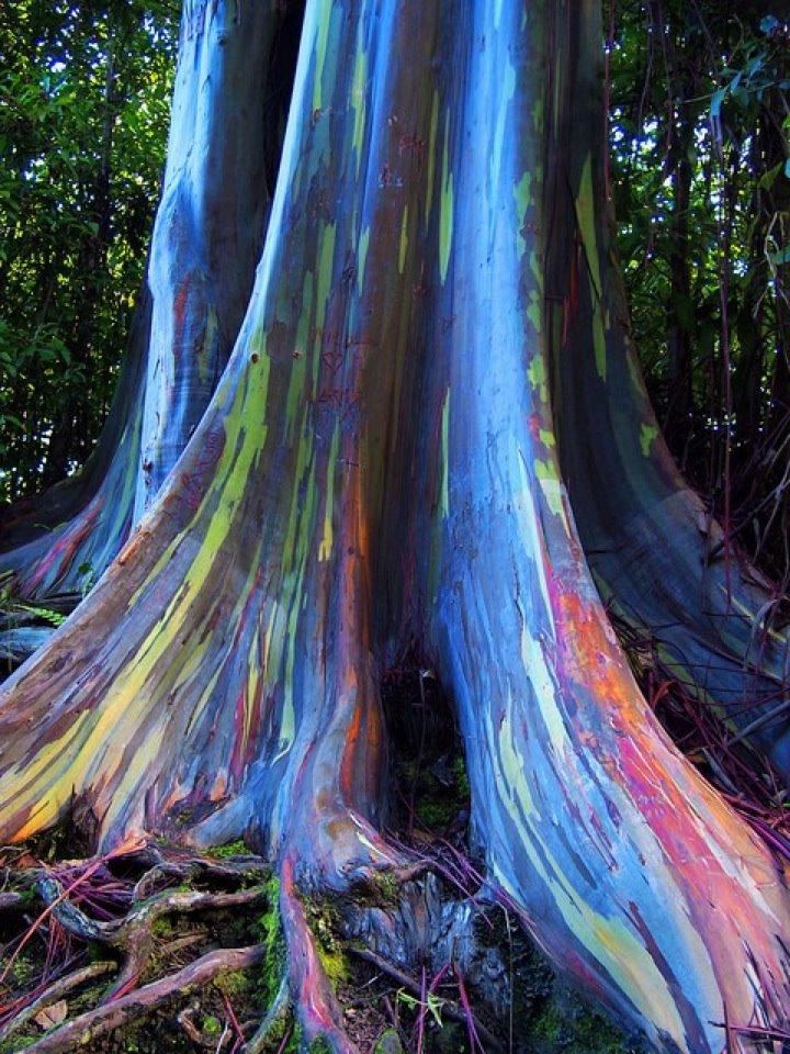 Rainbow-Eucalyptus-trees-Maui-Hawaii